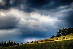 Vache orage (Terre d'Aveyron) Tags: vaches orage aveyron france ciel nuage soleil