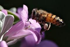 Il Bombardiere (Jambo Jambo) Tags: fiore flower ape bee macro grosseto maremma toscana tuscany italia italy jambojambo sonydscrx10m4 polline pollen