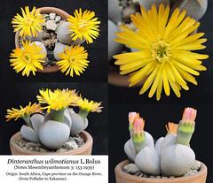 Dinteranthus wilmotianus (collage)