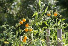 Tomaten, gelbe / yellow tomatoes (HEN-Magonza) Tags: botanischergartenmainz mainzbotanicalgardens rheinlandpfalz rhinelandpalatinate gelbetomate yellowtomato