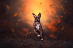 And The Leaves Came Tumbling Down (Tamás Szarka) Tags: dog pet animal puppy boxer autumn leaves action happy funny
