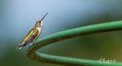 Humming Bird (vainapur) Tags: hummingbird humminng breakfast summer bird birds beak shutterspped zip fast light nature colors ornithology leaves leaf flowers flower hum timing