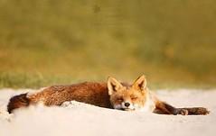 July 27 2018 at 05:45PM (hellfireassault) Tags: foxes july 27 2018 0545pm fantasticfoxes september 20 0448am