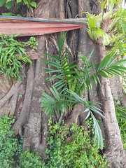 Palm growing in strangler fig (SierraSunrise) Tags: arecaceae esarn ficus isaan moraceae nongkhai palm palmae plants rattanawapi temple thailand trees wat
