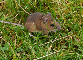 Wood mouse (Apodemus sylvaticus), Twisleton Scar End