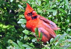 DSC_0531 (RachidH) Tags: birds oiseaux snow cardinal redbird northerncardinal cardinaliscardinalis cardinalrouge sparta nj rachidh nature