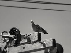Pidgean Paloma (Gabi Lamberti) Tags: argentina pidgeon canon sx540hs nature wildlife bird electricpole