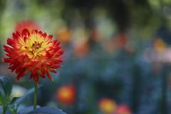 summer flowers 2018 (11) (mgheiss) Tags: dahlie dahlia flower summer sommer canon eos6dii canonef50mmf18