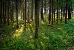 soothing summer shade (gnarlydog) Tags: samyang12mmt22 backlit forest serene manualfocus glow eveninglight summer green austria shadows wideangle grass spruce pine trees trunk nature