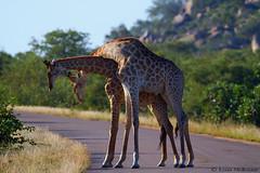 Necking Giraffes (leendert3) Tags: leonmolenaar southafrica krugernationalpark wildlife nature mammals giraffe ngc npc coth5