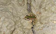 Iberian Water Frog (Pelophylax perezi) in drying puddle. (Sky and Yak) Tags: pelophylax perezi iberian water frog amphibian pelophylaxperezi spain oliva nature herpetology valencia puddle drought drying green perezs perezswaterfrog iberianwaterfrog