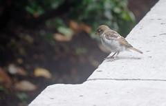 Perched Birdie (Orbmiser) Tags: olympus40150mmf4056r 43rds em1 mirrorless omd olympus ore oregon portland stone ledge bird