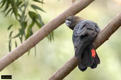 Glossy Black Cockatoo (Calyptorhynchus lathami lathami) (Dave 2x) Tags: calyptorhynchuslathamilathami calyptorhynchuslathami calyptorhynchus glossyblackcockatoo glossy cockatoo male bluegumswamptrail bluemountains nsw australia leastconcern