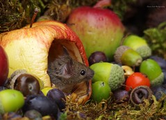 wild garden mouse inside a apple (8) (Simon Dell Photography) Tags: wild garden house mouse nature animal cute funny fun moss covered log pile acorns nuts berries berrys fuit apple high detail rodent wildlife eye ears door home sheffield ul old english country s12 simon dell photography