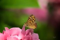 Borboleta (Carlos Santos - Alapraia) Tags: borboleta ngc ourplanet animalplanet canon nature natureza wonderfulworld highqualityanimals unlimitedphotos fantasticnature butterfly