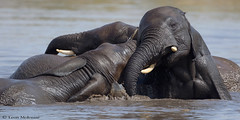 Leisure time (leendert3) Tags: leonmolenaar southafrica krugernationalpark wildlife nature mammals africanelephant coth5 ngc npc