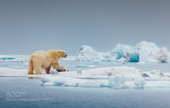 Mine (KevinBJensen) Tags: polar bear killer norway svalbard ice bird food dinner lunch hungry fat healthy mammal predator 500px 500pxambassador summer strong power king seal blood blubber animal wildlife wild wilderness