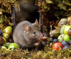 wild garden house mouse (Simon Dell Photography) Tags: wild garden house mouse nature animal cute funny fun moss covered log pile acorns nuts berries berrys fuit apple high detail rodent wildlife eye ears door home sheffield ul old english country s12 simon dell photography