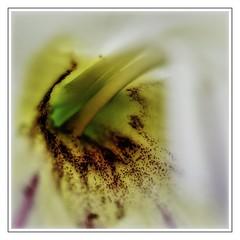 glad to be the center of attention (Mallybee) Tags: m43 macro gladioli flower closeup yellow pantacon f28 mallybee g9 dcg9 lumix panasonic oldlens