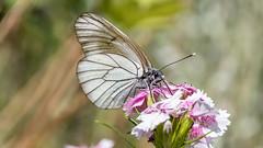 Black Veined White Murren 13 July 2018 (73) (BaggieWeave) Tags: switzerland murren berneseoberland cantonbern butterfly blackveinedwhite