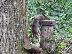 Smooth-tailed Squirrel (Wildlife Terry) Tags: longport westport stokeontrent thepotteries northstaffs staffordshire brownrat birdtable feeder westportlake conservation area