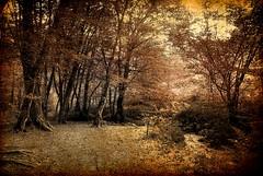D'un hêtre à l'autre c'est une grande conversation... (Sabine-Barras) Tags: france forest forêt sepia sépia arbres trees landscape paysage