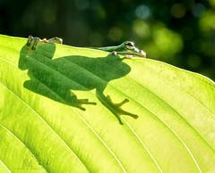 peaking frog (marianna_armata) Tags: p2630780 american tree frog green hosta leaf amphibian macro mariannaarmata animal nautre fauna