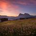 Flowers at Alpe di Siusi