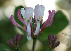 p1510320 (claudiopoli) Tags: piante plantae magnoliopsida dipsacales caprifoliaceae lonicera caprifolium caprifoglio autouploadfilenamep1510320jpg
