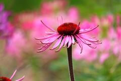 Bloom (adamsgc1) Tags: stourhead stourton wiltshire england uk daisy flower nature pink petals colour