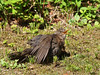 Hau ab und lass mich in Ruh' -  Get lost and leave me alone (neusiedler) Tags: amsel blackbird