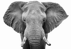 Elephant cut out (Sheldrickfalls) Tags: elephant elephantbull krugernationalpark kruger krugerpark