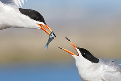 Sharing is Caring (bmse) Tags: canon 7d2 400mm f56 l bmse salah baazizi wingsinmotion forster tern bolsa chica fish fishing mating courting exchange
