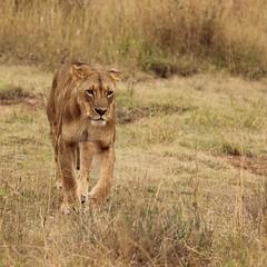 The approach (Nagarjun) Tags: lioness nairobinationalpark kenya eastafrica wildlife carnivore bigcat bigfive female safari gamedrive