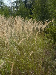 Calamagrostis epigejos (Wood Small-reed)