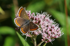 IMGP9284c Brown Argus, Lackford Lakes, August 2018 (bobchappell55) Tags: lackfordlakes wild wildlife nature suffolk insect butterfly brownargus ariciaagestis