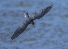 Diving tern (Robert Grove 2 (on tour)) Tags: tern bird dive wildlife blacktern fishing