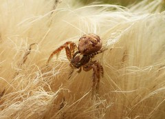 Crab Spider in the Fluff..x (Lisa@Lethen) Tags: wildlife nature insect crab spider seed fluff macro