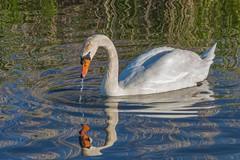 Swan in the lake (W. von Zeidler) Tags: wasser spiegelung swan water schwan sea europa deutschland badenwürttemberg federsee