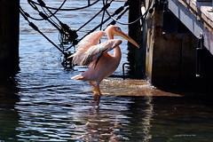 Pelican (DirkVandeVelde back , and catching up) Tags: europa europe europ cyprus greece pelecaniformes pelikaan pelican animalia animal aves fauna buiten biologie watervogel waterbird water griekscyprioten