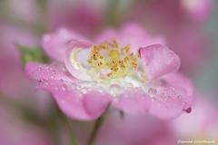 Rose Ballerina (Jourdheuil Clément) Tags: roseballerina arbuste rose flou bokeh flowers fleurs nature étamine pastel offemont clémentjourdheuil douceur calme pétale pistiljaune macrophoto création lumierenaturelle