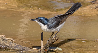 alice river - another restless flycatcher