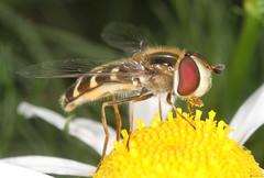 Scaeva pyrastri female (timz501) Tags: scaevapyrastri jersey hoverfly