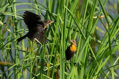 Yellow-headed Blackbirds (8408) (Bob Walker (NM)) Tags: bird perching blackbird yellowheadedblackbird xanthocephalusxanthocephalus yhbl cattails losalamos newmexico usa