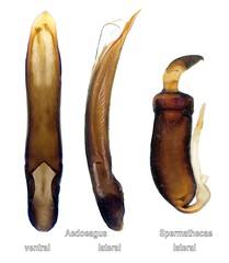 Phyllotreta nigripes (Fabricius, 1775) Genital (urjsa) Tags: coleoptera kaefer beetle insect chrysomelidae phyllotreta nigripes phyllotretanigripes germania germany deutschland europa europe taxonomy:binomial=phyllotretanigripes taxonomy:order=coleoptera taxonomy:family=chrysomelidae taxonomy:genus=phyllotreta taxonomy:species=nigripes geo:country=germania geo:country=germany coleopteraus insekt