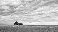 Clump and Clouds and Sheep (stevedewey2000) Tags: salisburyplain wiltshire sptawest blackandwhite sigmadp2 merrill bw desaturated nik silverefex trees treescape cloudscape landscape charltonclumps clouds skyscape sheep grazing