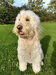 Windblown and squeaky clean (Chickpeasrule) Tags: windblown fur clean squeakyclean evie dog goldendoodle bath fragrant