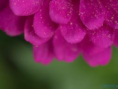 Edges (Brian D' Rozario) Tags: brian19869 briandrozario nikon d750 flower petals petal pollen summer green pink magenta yellow dof depthoffield macro closeup layers layer edge edges nofilter plantkingdom flora floral