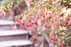 Fuchsia (zenseas) Tags: sunny endofsummer summer belltown vinestreetppatch flowers seattle washington fuchsia flower blossom painting