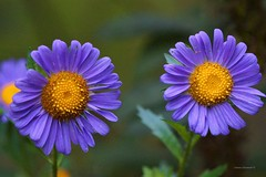 Twins (Anton Shomali - Thank you for over 1 million views) Tags: garden backyard group twins number two purple daisy flowers twopurpledaisyflowers 2 yellow seeds green nature beauty beautiful same twin match identical closeup macro summer hot sony slta77v